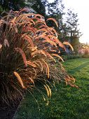 stock photo of fountain grass  - This fountain grass greets another sunrise - JPG