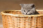 Grey Kitten In The Basket