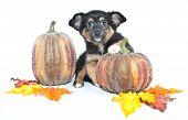Fall Puppy