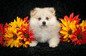 picture of pomeranian  - Little Pomeranian puppy laying on a black background with fall flowers around her - JPG