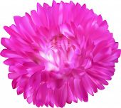 illustration with bright pink aster flower isolated on white background