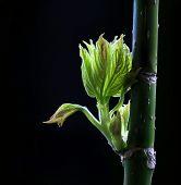 Spring green budding leaves