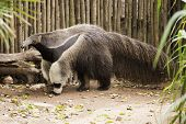 image of ant-eater  - giant ant eater walking and looking something - JPG