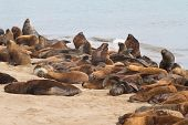 South American Sea Lions Rookery On The Beach Of The Atlantic Ocean