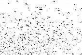 large flock of crows isolated on white