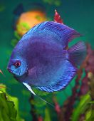 blue discus fish in aquarium underwater