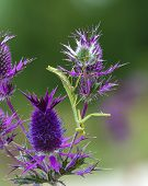 Praying Mantis On Purple Wildflower