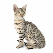 stock photo of bengal cat  - portrait of a purebred bengal cat on a white background - JPG