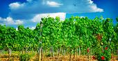 Beautiful vineyard in Europe, sunny day, Italian agricultural field, fresh green grape leaves, tasty