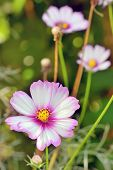 Cosmos bipinnatus flower in garden