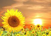 Yellow sunflower and sunset