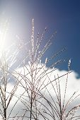 stock photo of pampa  - closeup of pampas grass against the blue sky - JPG
