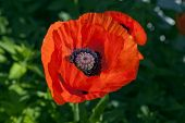 Close up on a red poppy.