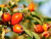 Red rose hips on a branch