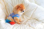 Cute Pet In House, Pomeranian Grooming Dog Wear Clothes On Bed At Home
