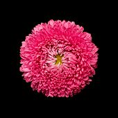 Aster flower head isolated on black
