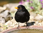 Blackbird drinking