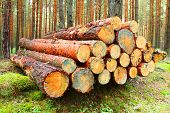 Pine logs in the forest.