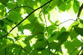 Defocus photo of birch leaves