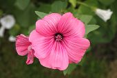 Beautiful pink flower with beauty background in a dacha garden