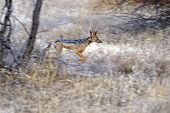 picture of jackal  - Jackal on the African savannah wildlife habitat - JPG