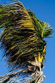 Coconut palm in the wind
