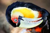 Dark coloured toucan