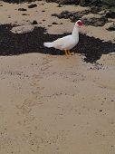 stock photo of atlantic ocean beach  - A Muscovy duck  - JPG