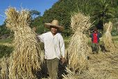 People of Chan hill tribe harvest rise in Chiang Mai, Thailand.