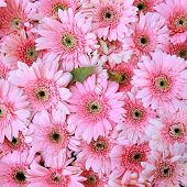 Beautiful Pink Flowers, Gerbera Flowers