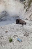 Bison At The Mud Volcano