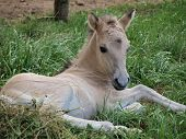 Young white foal