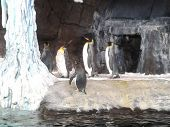 Emperior penguins shaking off water
