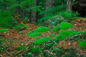 image of pine-needle  - green moss among the needles in a pine forest - JPG