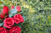 picture of climbing roses  - Red rose bouquet on green climbing fig background for valentine day - JPG