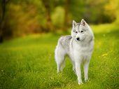 stock photo of bitch  - portrait of female Siberian Husky  - JPG