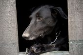 picture of saddening  - dog sitting in dog shack and is saddened - JPG