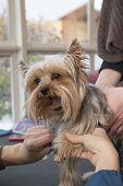 Grooming Yorkshire Terrier.