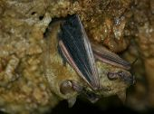 pic of mating  - Bat Buddies Mating in InnerSpace cavern in Georgetown, TX