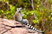 image of omnivore  - Madagascar ring tailed lemur sitting on a rock