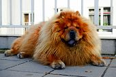 picture of chow  - Brown chow chow dog living in the european city - JPG
