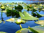 Floating Lilypads