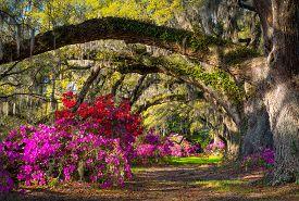 stock photo of azalea  - Charleston SC Spring Bloom Azalea Flowers South Carolina Plantation Garden under live oaks and spanish moss  - JPG