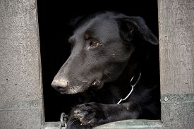 foto of saddening  - dog sitting in dog shack and is saddened - JPG