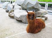 picture of lamas  - Lamas in a zoo lie and sadly look at visitors - JPG