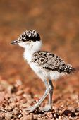 picture of chimp  - A tiny fluffy lapwing chick walks on a pebble beach along the shore of an island known as Chimp island inside lake Victoria in Eastern Africa - JPG
