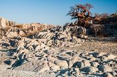 pic of baobab  - A baobab tree stands on the granite rock extrusion known as Kubu Island in the middle of the Makgadikgadi Salt Pan in Botswana - JPG