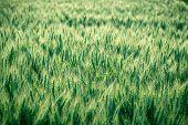 pic of serbia  - Green wheat field  - JPG