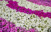 image of petunia  - Flowerbed of mixed colorful flowers of petunia - JPG