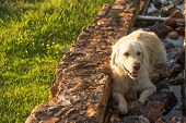 foto of trough  - A female golden retriever dog lies resting in the water trough build fom stone while catching her breath - JPG